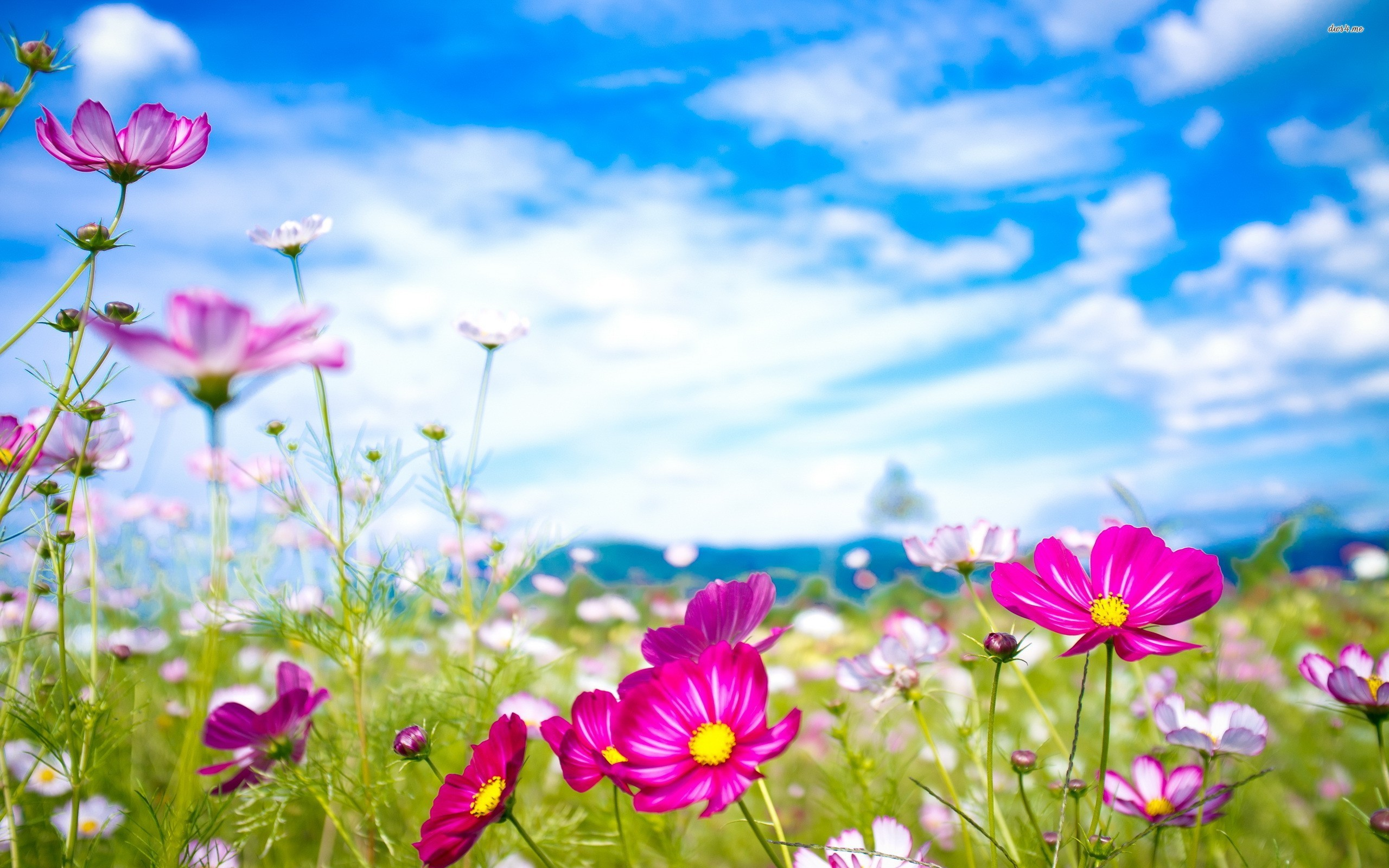 21568-colorful-cosmos-flowers-2560×1600-flower-wallpaper